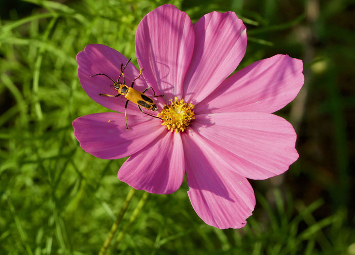 Close-up of pink cosmos flower blooming outdoors