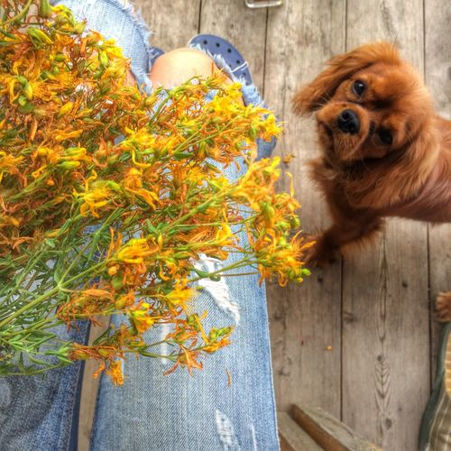 Cavalier King Charles Spaniel Dog собака