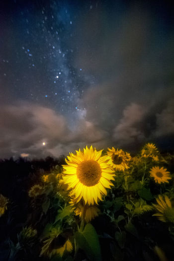 Sunflowers under the Milky Way Beauty In Nature Cloud - Sky Field Flower Flower Head Flowering Plant Fragility Freshness Growth Inflorescence Milkyway Nature No People Outdoors Petal Plant Scenics - Nature Sky Sunflower Vulnerability  Yellow