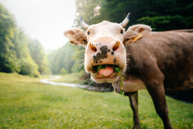Portrait of a cow on field by the forest and river