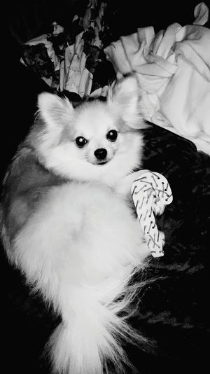 Dog Pets One Animal Looking At Camera Puppy Portrait Cute Pomeranian Indoors  Close-up Dog Love Puppy❤ Beautiful Love Smiling Happiness Burlington NC Backgrounds EyeEmNewHere Looking At Camera Pet Portraits Indoors  The Week On EyeEm Mix Yourself A Good Time Black And White Friday