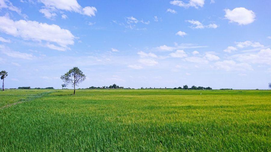 Rice field Rice
