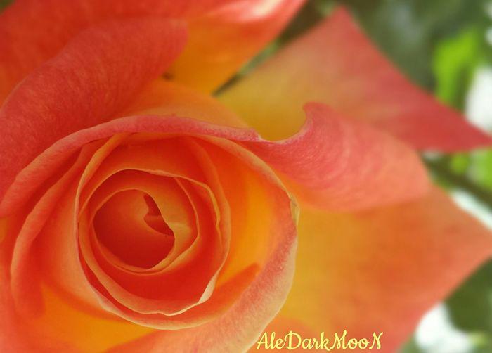 Rose.. Flower Petal Nature Beauty In Nature Flower Head Fragility Close-up Rose - Flower Selective Focus Springtime Freshness Garden Spring Time Freshness Beauty In Nature Blossom Rose🌹 Sezione Aurea Aurea Propirtion