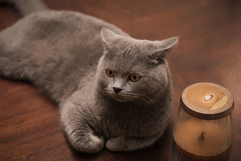 High angle view of british shorthair cat relaxing on table