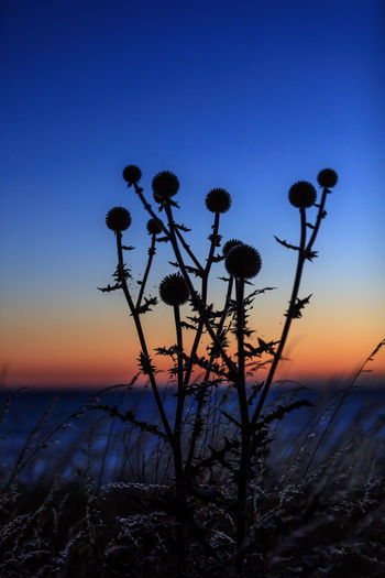Sweden Thistles Beauty In Nature Byxelkrok Clear Sky Day Dusk Growth Nature No People Outdoors Plant Scenics Silhouette Sky Sunset Tranquil Scene Tranquility