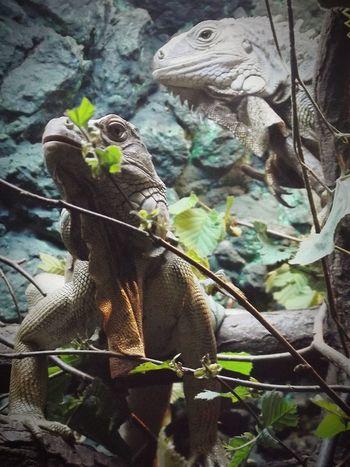 Iguana Iguanas Iguana Colors Iguana Photo Nature No People Animal Themes Zoo Animals  Zoo ZooLife Zoo Day ZOO-PHOTO Reptile Reptails Beauty In Nature