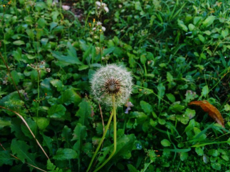 Dandelion Nature Flower