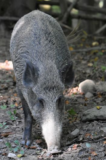 Close-up of wild boar on field