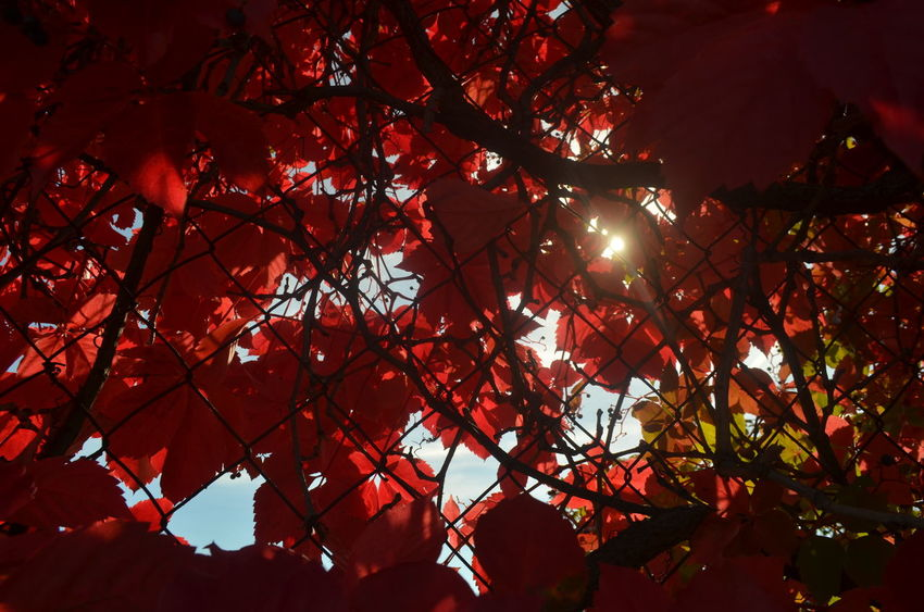 Red Tree Nature Beauty In Nature No People Low Angle View Backgrounds Outdoors Day Freshness Branch Color Red Nature
