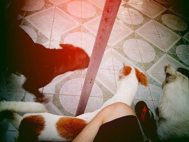 สามทหารเสือ The 3 musketeers. Dog Instadog Pet Pet13 Goldenretriever Lomography
