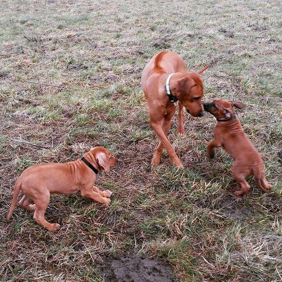 Ohana beim Spielen mit Ihrer Tante Joy und Ihrem Bruder Kito ? Rhodesianridgeback Hund Dog Welpen puppies rhodesian ridgeback picoftheday instadogs love puppy instapuppies sweet dogoftheday picoftheday ohana joy kito