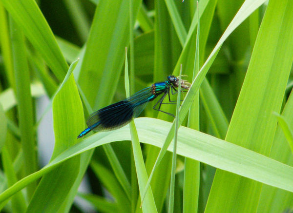 Animal Themes Animals In The Wild Banded Demoiselle Beauty In Nature Close-up Damselfly Day Green Color Growth Insect Leaf Nature No People One Animal Outdoors Plant