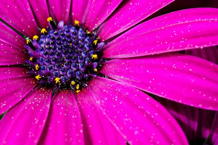 Flower Fragility Nature Beauty In Nature Petal Flower Head Pollen Freshness Wet Close-up Drop Growth Plant Outdoors Day Water No People Osteospermum Plant Blossom Blossom Time🌺