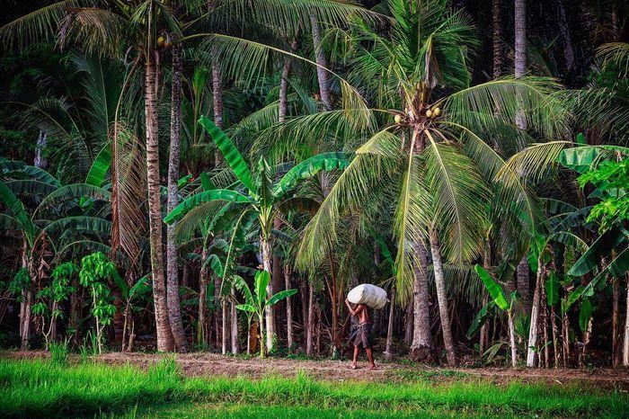 Bali Bali, Indonesia INDONESIA Rural Rural Scenes Worker Hardwork Heavy Palm Trees Jungle Outdoors Travel Exploring Photography EyeEm Best Shots EyeEm Nature Lover EyeEm Gallery EyeEm Best Edits EyeEmBestPics EyeEm Feel The Journey Fine Art Photography