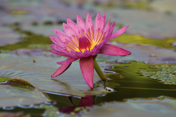 Beauty In Nature Close-up Day Floating On Water Flower Flower Head Focus On Foreground Fragility Freshness Growth Lake Leaf Lily Pad Lotus Water Lily Nature No People Outdoors Petal Plant Reflection Water Water Lily