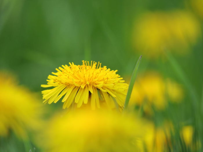 Dandelion Collection Flower Flowering Plant Yellow Plant Growth Beauty In Nature Freshness Fragility Close-up Vulnerability  Petal Selective Focus Flower Head Nature Inflorescence No People Day Outdoors Field Green Color Blade Of Grass