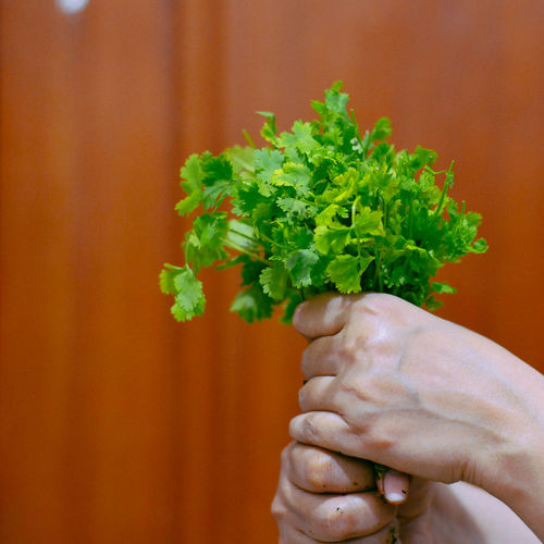 Cropped hands of woman holding cilantro