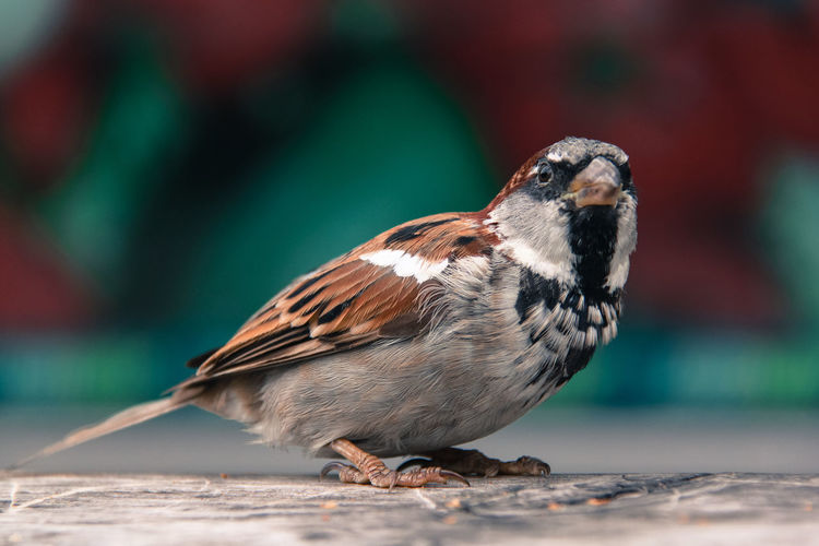 Animal Themes Bird Bird Photography Birds Birds Of EyeEm  Birds_collection Close-up Nature Nature Nature_collection One Animal Plums Sparrow Wings