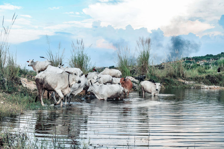 Cows drinking water from lake