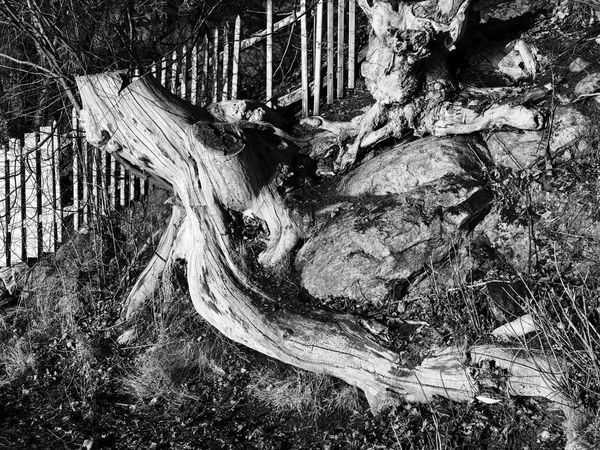 Old large lying tree trunk by old wooden fence. Large Tree Trunk Nature No People Old Fence With Tree Trunk Tree Tree Trunk