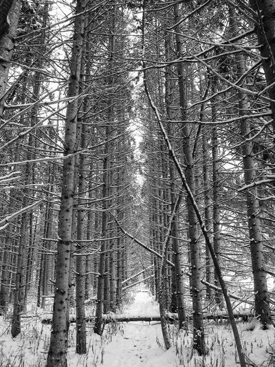 Winter Wonderland The Great Outdoors - 2018 EyeEm Awards Pine Trees Black And White Forest Tree Nature Tranquil Scene Beauty In Nature Tree Trunk Tranquility Snow Outdoors WoodLand Winter Cold Temperature Landscape No People Scenics