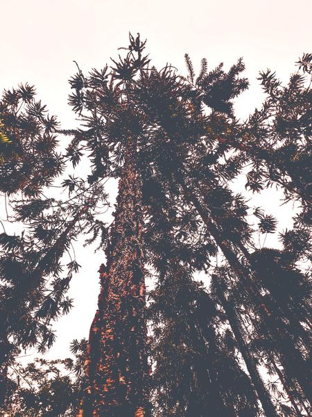 high up trees conifers low angle Tree Silhouette Sky Growing Full Frame Plant Life