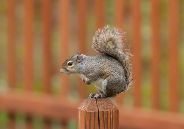 Daydreaming...Good for my soul!😊😊 Squirrel Grey Squirrel Nature Squirrel Closeup Animal Wildlife Animals In The Wild Close-up Animal Themes One Animal Beauty In Nature Fence Outdoors Mammal in United States