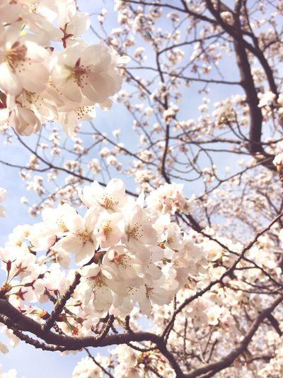 お花見 Sakura Cherry Blossoms お散歩