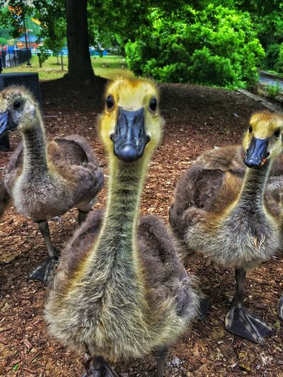Duck Geese Animals EyeEm Nature Lover Taking Photos Eye4photography  Hanging Out Check This Out