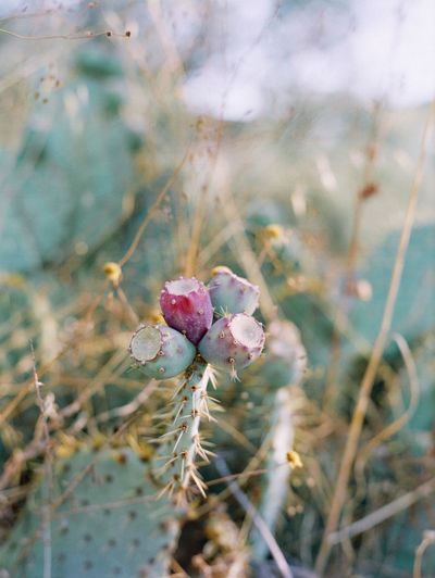 Cactus - Fietri agriturismo Agriturismo Vini Fietri Chianti Tuscany Travel Destinations Filmphotography EyeEm Italy Plant Beauty In Nature Growth Flower Flowering Plant Close-up Fragility No People Nature Focus On Foreground Cactus Inflorescence Flower Head