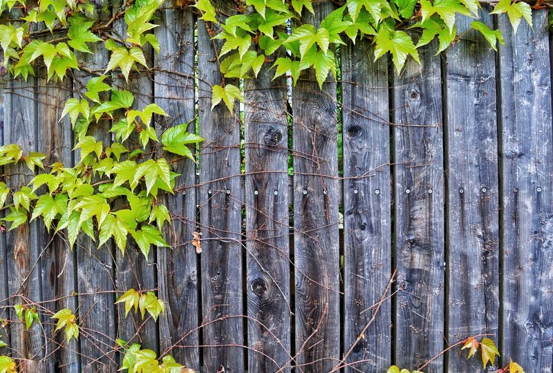 Fence Wall Plant Leaves Weathered Growth Green Color Outdoors No People Backgrounds Nature Close-up Day Photography Textured  Brunomphotography