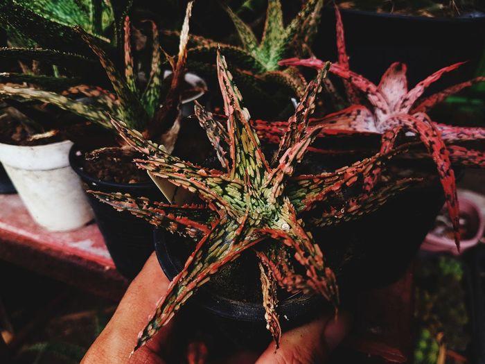 Aloe Aloe Vera Plant Aloe Vera Sculent Tree Close-up Plant