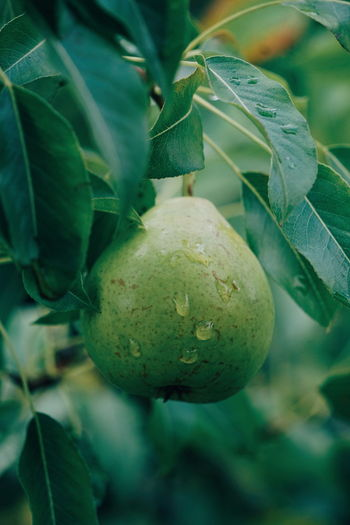 Close-Up Of Pear Growing On Tree