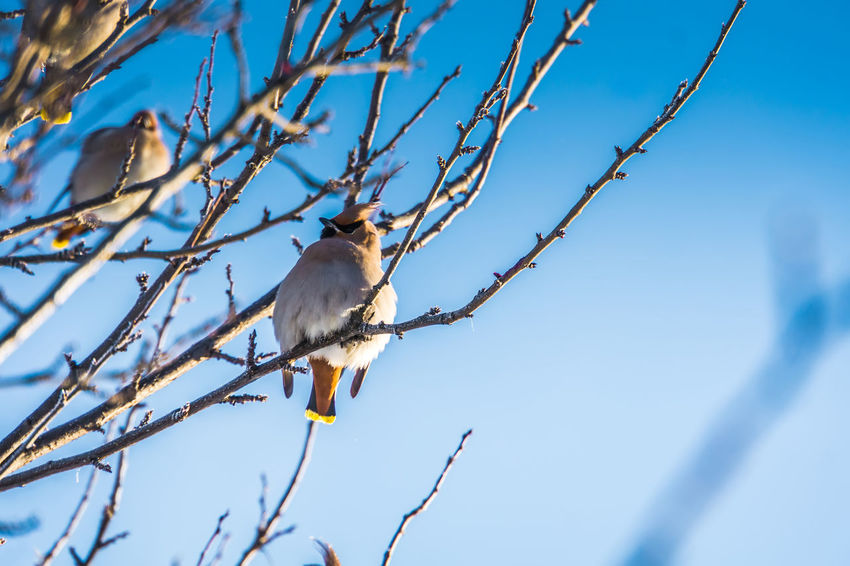 Wintertime Animal Animal Themes Animal Wildlife Animals In The Wild Bare Tree Beauty In Nature Bird Blue Branch Day Low Angle View Nature No People One Animal Outdoors Perching Plant Sky Sunlight Tree Vertebrate Waxwing Waxwings