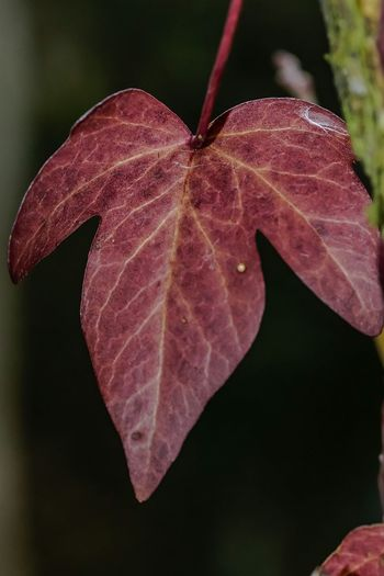 Ivy Ivy Leaf Close-up No People Plant Pink Color Nature Leaf Outdoors Beauty In Nature Day Fragility Maroon Freshness Plant Beauty In Nature Nature On Your Doorstep EyeEm Nature Lover I Love Nature Nature Focus On Foreground My Garden