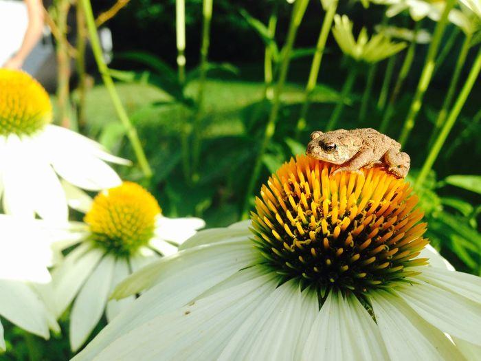 Frog model Frog Froggy Daisy