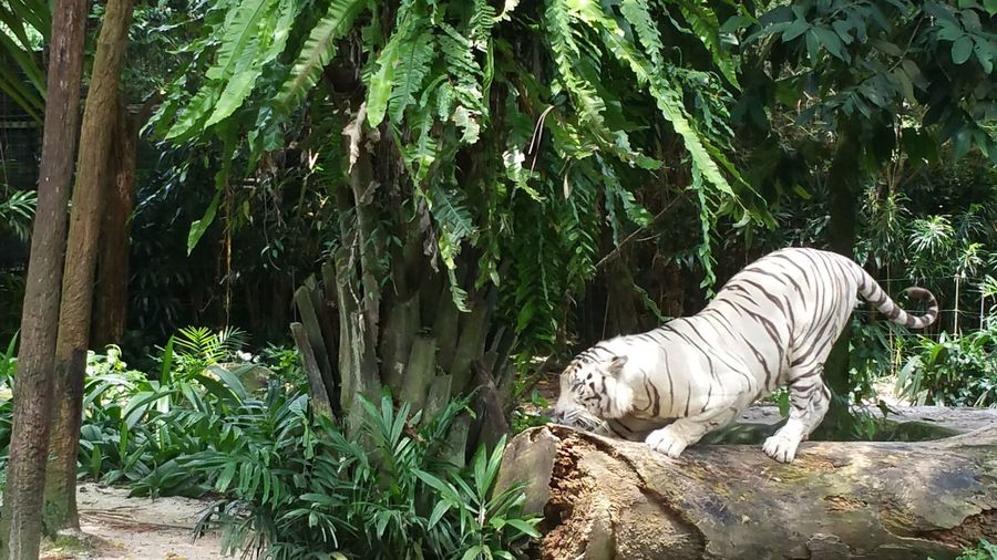 Animals Randomshot Singapore Singapore Zoological Garden Taking Photos White Tiger Zoo Zoo Animals