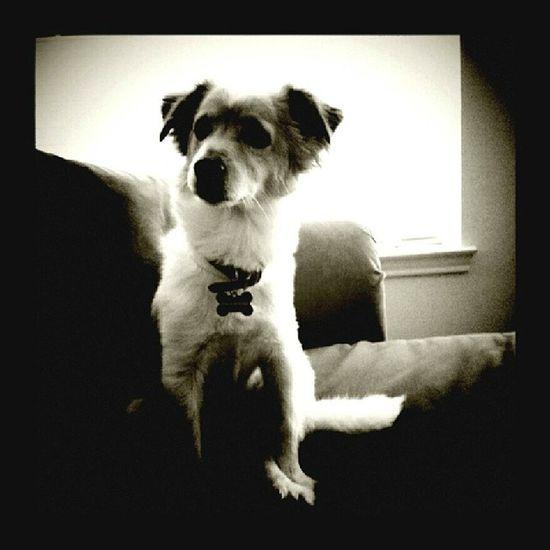 My boy Chuck looking dapper as ever. Igdogs Poundpups Dapper Instagood selfie