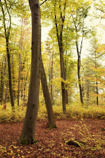 Tree Forest Land Plant Autumn Trunk Tree Trunk Beauty In Nature Tranquility Nature Growth Tranquil Scene Day WoodLand Change Scenics - Nature No People Non-urban Scene Landscape Outdoors Fall