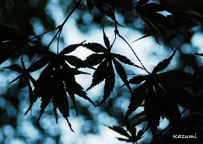 小さい秋🌰🍂🍁その6 Nature Beauty In Nature Leaf No People Day Outdoors Close-up Growth Branch Beauty In Nature Nature MapleWoods Autumn Leaves Autumn🍁🍁🍁 Autumn Collection Maple Leaf Autumn 神代植物公園 Tokyo Japan