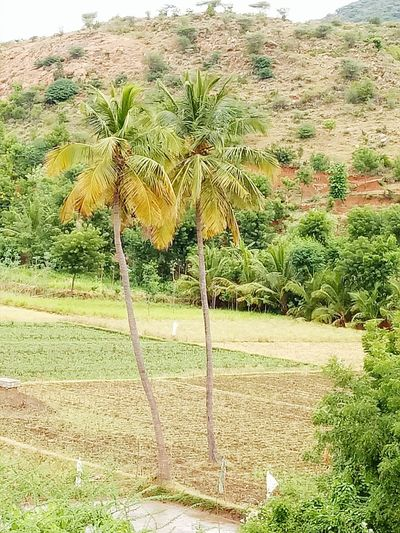 Adventure Beauty In Nature Coconut Palm Tree Remote Nature Place Pauparapatt Dharmapuri TN India Cocunt tree