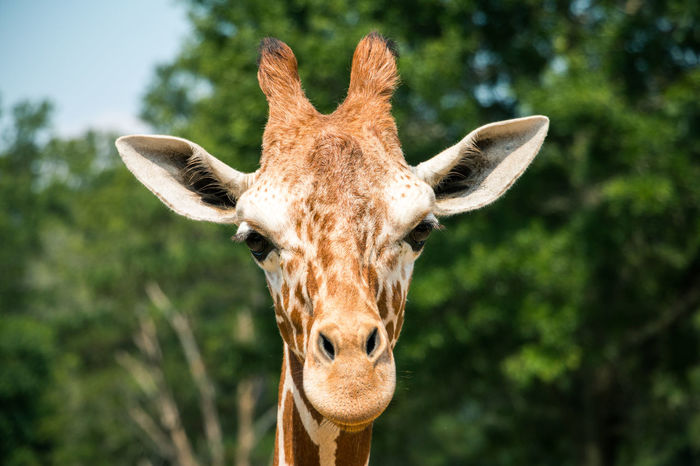 Oh, hello there Mr. Giraffe Animal Animal Head  Animal Themes Animals In The Wild Beauty In Nature Close-up Focus On Foreground Giraffe Green Greetings Herbivorous Mammal Nature One Animal Outdoors Safari Animals Stare Tall Tall - High Wildlife Wildlife & Nature Zoo Zoology