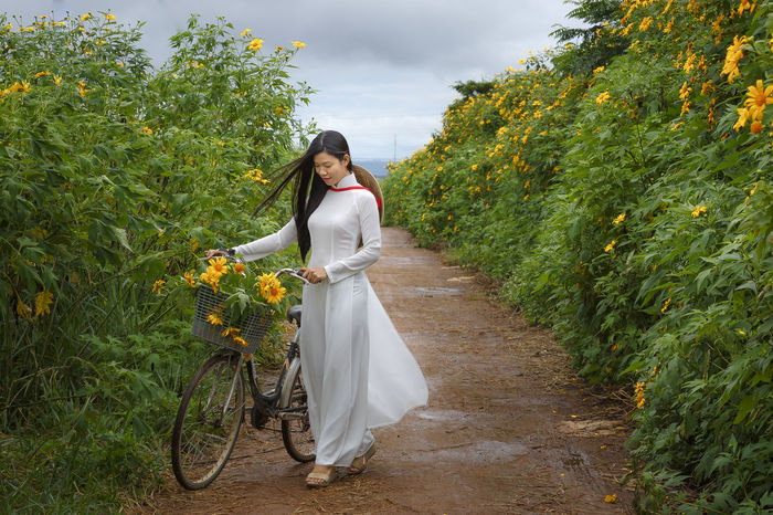 Bao Loc, Lam Dong Province, Vietnam - November 5, 2016 : Young girl walking on path of countryside between the bushes of wild sunflower bloom in yellow, colorful scene Amazing Asian  Baoloc Beautiful Bicycle Bike Blossom Bush Charm Charming Colorful Conical Hat Countryside Editorial  Flowers Gilrs Illustrative Landscape Nature Path Road Rural Rural Scene Sunflowers Travel