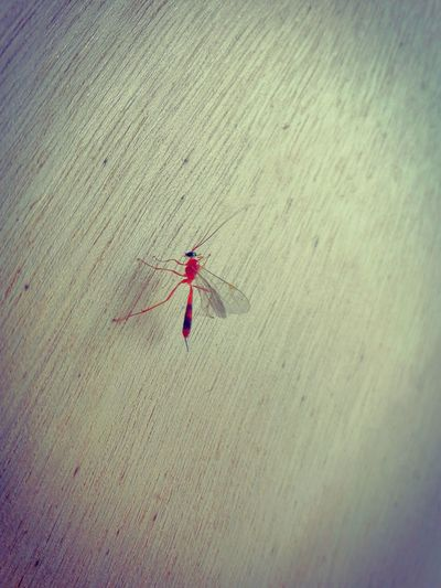 Animal Themes Mosquito Red Mosquito Culicidae Insects  Nature Rare Mosquito