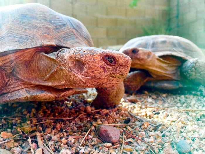Desert Animal Themes Animal Wildlife Animals In The Wild Close-up Day Desert Tortoise Nature No People One Animal Outdoors Reptile Tortoise Tortoise Shell