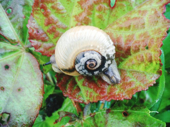 Hugging A Tree Non-urban Scene Snail 🐌 Leaf Red & Green Leaf Spiral Spiral Shell Fragile Animal Antenna Monsoon Beauty In Nature MobilephotographyColors Of Life EyEmNewHere