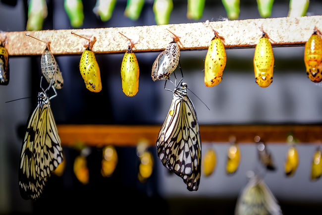 Chrysalis of Idea leuconoe butterfly Beauty Bug Butterfly Chrysalis Closeup Cocoon Evolution  Evolve Hang Idea Leuconoe In A Row Insect Larva  Life Cycle Modify Morpho Peleides Nature No People Pattern Pupa Stages Stages Of Life Transform Wild Wildlife