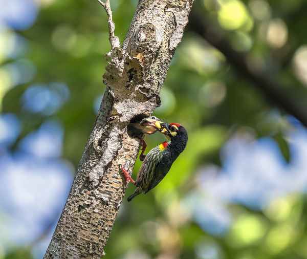 Coppersmith Barbet (Megalaima haemacephala) Animals In The Wild Animal Wildlife Tree Animal Animal Themes One Animal Vertebrate Plant Bird Branch No People Day Perching Tree Trunk Trunk Nature Outdoors Sunlight Low Angle View Woodpecker Barbet, Wild, Wildlife, Avian, Nature, Coppersmith, Green, Beautiful, Tree, Animal, Bird, Feather, Forest, Thailand, Colorful, Branch, Megalaima, Tropical, Wilderness, Natural, Hole, Outdoor, Birding, Fauna, Exotic, Red, Cute, Small, Asia, Rainforest, Wings, Meal, Asian, Beak, Plant, Beauty, Feed, Home, Multi, Colour, Color, Country, Yellow, Fruit, Thai, Hollow, Eat, Perched, Feeding Birds, Nesting Session Feeding Birds Nesting Birds