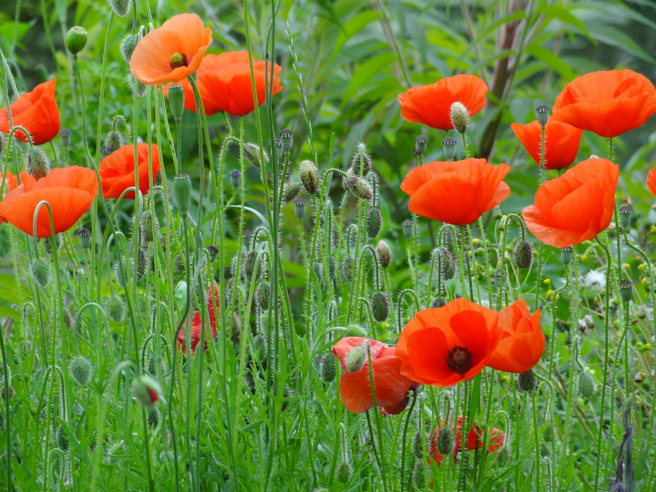 growth, flower, field, grass, plant, poppy, nature, beauty in nature, orange color, freshness, green color, fragility, petal, no people, flower head, day, outdoors, blooming, tranquility, red, rural scene, close-up