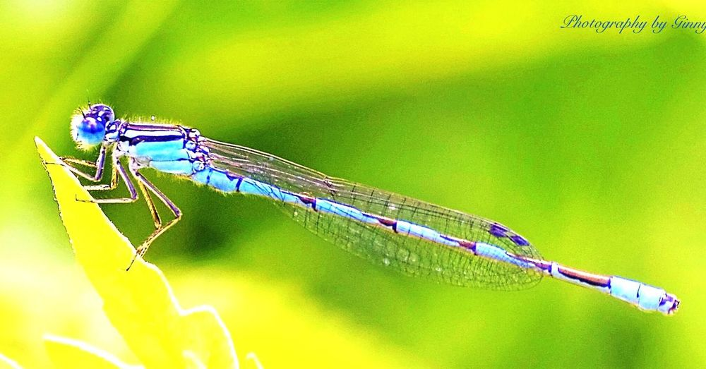 A tiny blue damselfly. Photo taken in Saratoga Springs, NY. Macro photo of damselfly. Insect Damselfly Nature Close-up Macro Photography No People Blue First Eyeem Photo